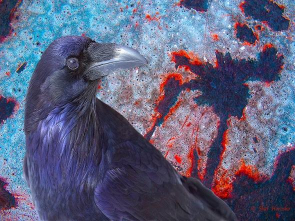 Grand Canyon Raven Christmas Day