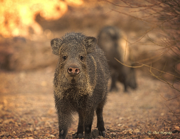 Javelina in Tucson Mountains