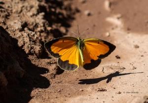Sonoita Patagonia Butterflies