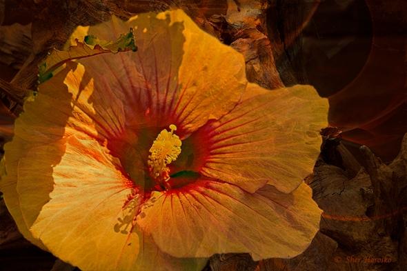 Orange flower Bouganvilla artistic