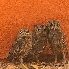 My Owl Family